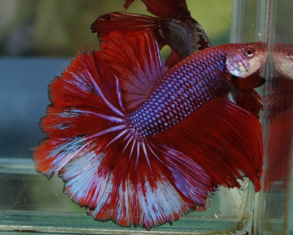 Let 39 s have a debate on betta tank size tropical fish forums for Betta fish tank size