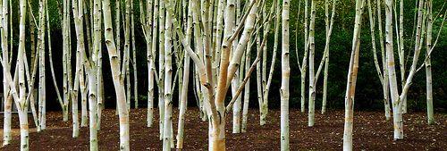 White birch - Betula utilis Jacquemontii at Anglesey Abbey