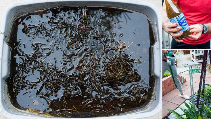 PHOTOS BY RYAN BENOIT - Homemade Liquid Kelp Fertilizer