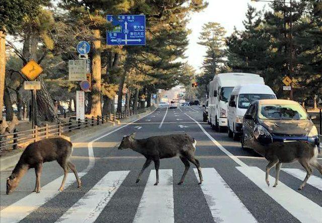 まるでビートルズのアルバム「アビイ・ロード」のジャケット――。奈良公園で撮られた3頭の鹿の写真が話題になり、ツイッターで4万件もの「いいね」が寄せられている。 公園近くのライブハウスの代表、坂口照太…