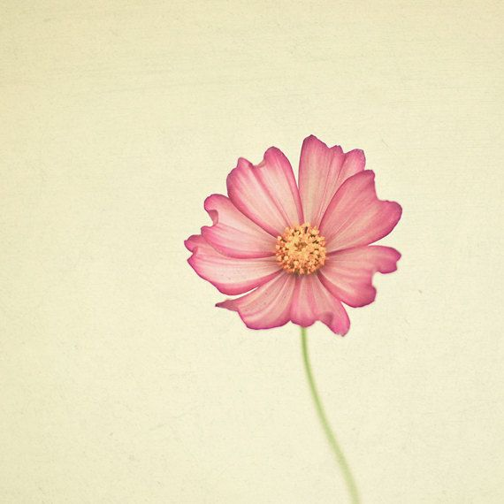 Nature Photography Cosmos Flower Minimalist Art by CassiaBeck