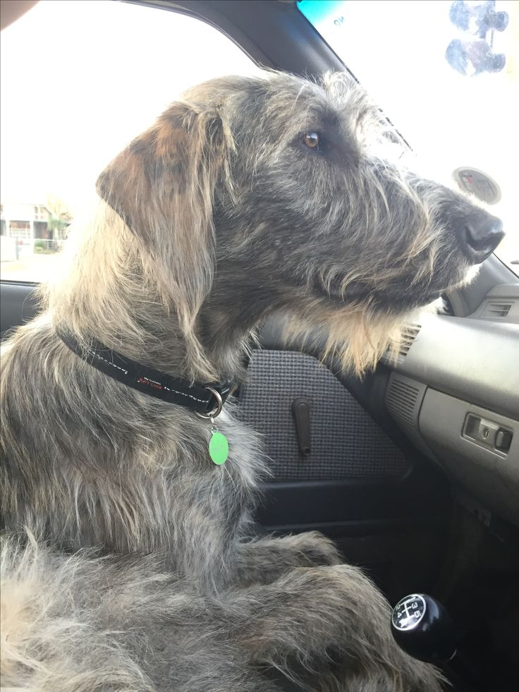 Road trip Irish Wolfhound Eddy
