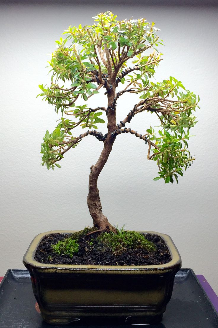 Azalea. First pruning, wiring and re-potting. Approximately 150mm high.   03-06-2016 #bonsai #tree #gardening