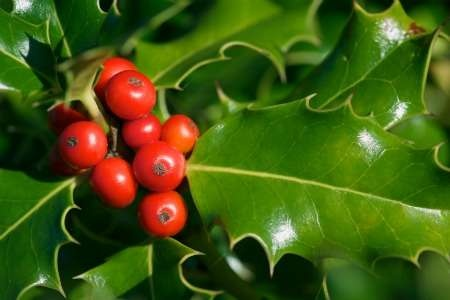 Planting And Taking Care Of A Holly Bush | DoItYourself.com