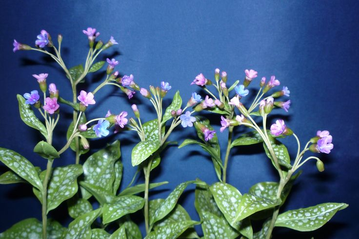 Pulmonaria officinalis - orvosi tüdőfű .........Clay Flowers in the Museum of Natural History - Grassalkovich Castle, Hatvan ..........Agyagvirágok a Természettudományi Múzeumban - Grassalkovich Kastély, Hatvan