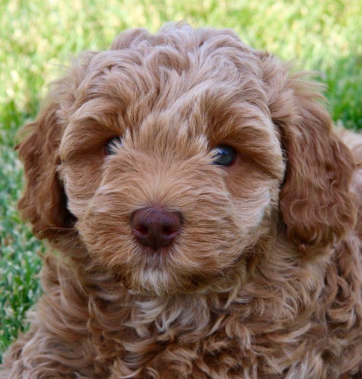 Caramel Australian Labradoodle Puppy Australian