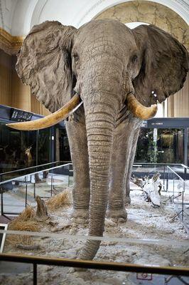 Opgezette olifant in het KMMA (Tervuren), gevangen (en gedood) in 1958 voor de Wereldtentoonstelling.