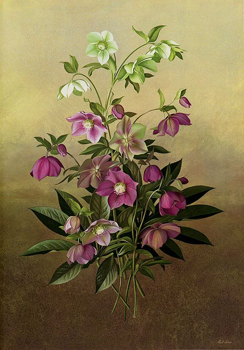 Hellebore - Helleborus orientalis - Paul Jones Flora Magnifica and Flora Superba botanical prints