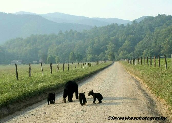 Bear family in Cades Cove