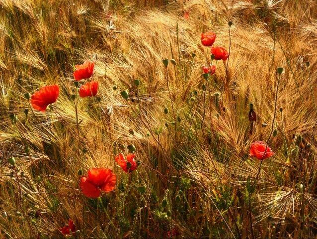 Лето. Цветущие маки. Долина Луары (Франция).