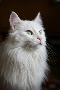 Turkish Angora Cat - Google Search