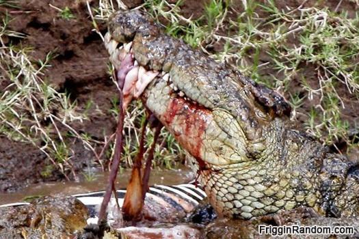 Crocodile eating a zebra.