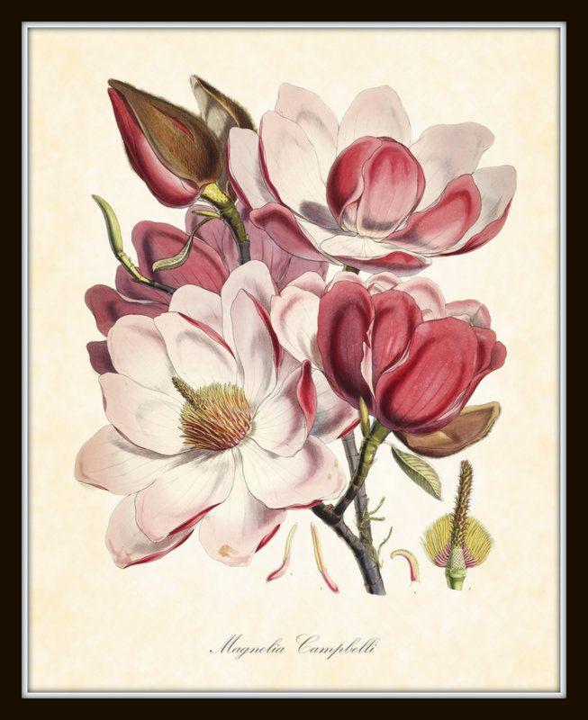 Magnolia Plate 2 Campbelli  Antique Botanical Art Print 1855 Art Print 8 x 10 Home Decor by BelleBotanica on Etsy