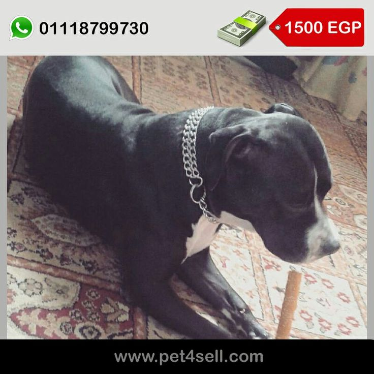 Female Pitbull 1 year 7 month daughter of American bully need to married Giza #pet4sell
