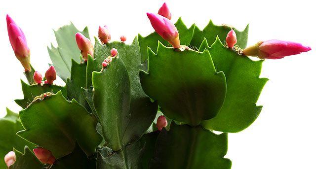 Már most cselekedned kell, hogy karácsonyi kaktuszod szentestére virágozzon! - www.kiskegyed.hu