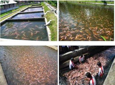 Dunia Cara Ternak Hewan - Peluang Usaha Sampingan: ternak ikan nila menguntungkan