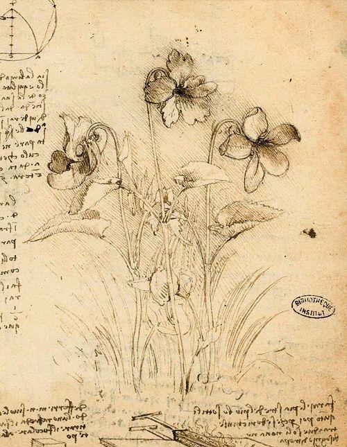 "workman: "" Study of Violets, Leonardo Da Vinci (Italian, 1452-1519) """