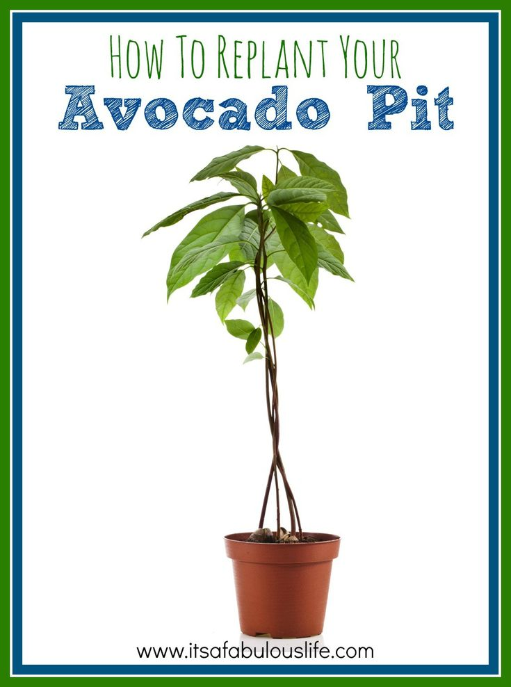 How to replant your avocado pit - regrow avocado?  Who knew!?  #garden #avocado