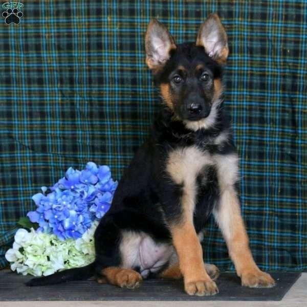 Sally German Shepherd Mix Puppy For Sale In Pennsylvania