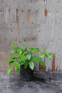 Sitruuna - Citrus limon  Trooppiset hyötykasvit huonekasveina - kasvit ovat kaupasta ostettujen hedelmien siemenestä kasvatettuja.