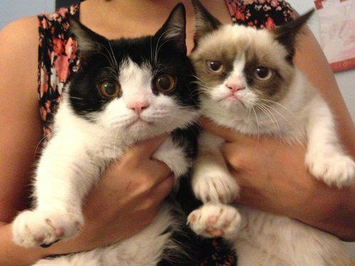 Tartar Sauce the Grumpy Cat and her brother Pokey: Animals, Grumpy Kitty, Grumpycat, Funny Stuff, Brother, Grumpy Cats
