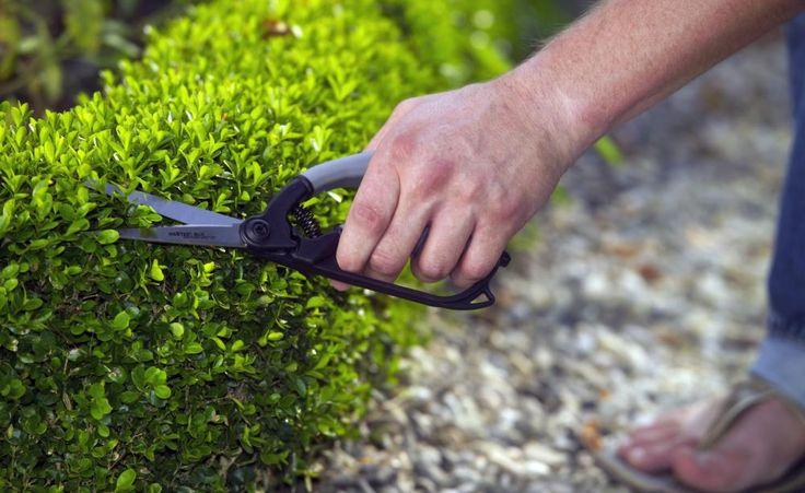 Erst seit einigen Jahren breitet sich in Deutschland das Buchsbaum-Triebsterben aus – stellenweise mit verheerenden Folgen. Der Pilz namens Cylindrocladium buxicola dringt über die Blätter in die Pflanze ein und tötet sie mit der Zeit komplett ab. Es gibt aber inzwischen Möglichkeiten, den Befall einzudämmen.