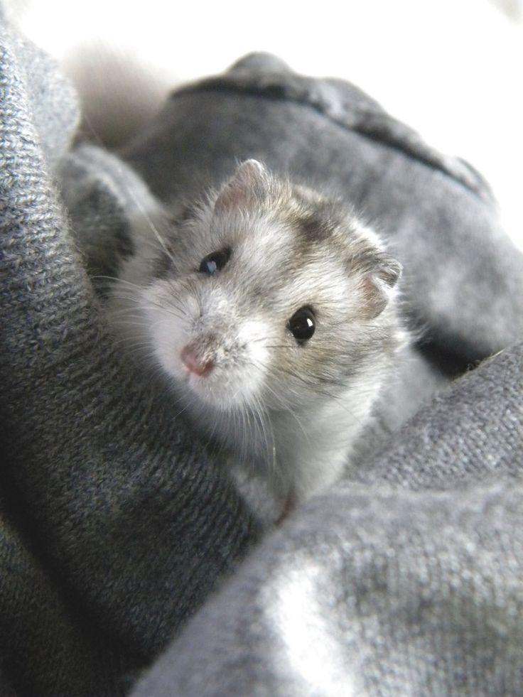 17 best images about hamster on pinterest robo dwarf - Hamster russe panda ...