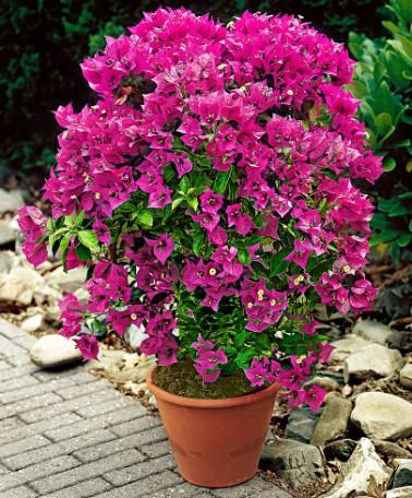 Bougainvillea - Plant Bougainvillea spectabilis     Exotic waterfall of flowers. Bougainvillea is an exotic waterfall of flowers. The plant is smothered with masses of tropical flowers and looks fabulous in a tub on the patio or decking. This tub plant has more than just wonderful flowers, it also has shiny, colourful bracts from which the flowers bloom.