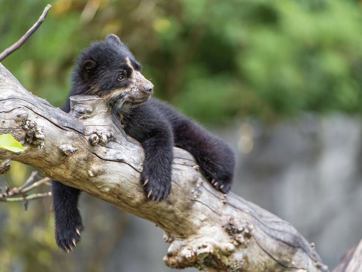 One of the spectacled bear cubs lying nicely on one of the branches in their enclosure.  Made it in Explore, #454, December 21st, 2017.