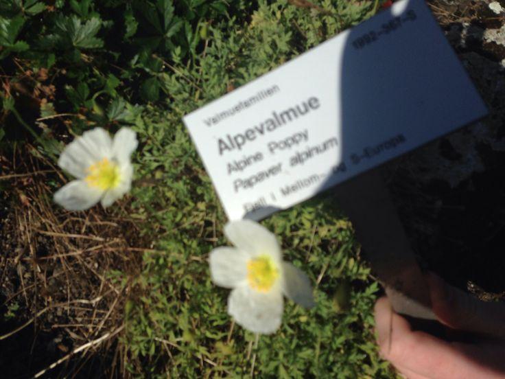 Alpevalmue - Alpine poppy