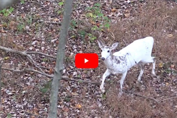 Hunter Makes Controversial Choice On Piebald Deer That Passes His Stand Melanism Hunter Deer