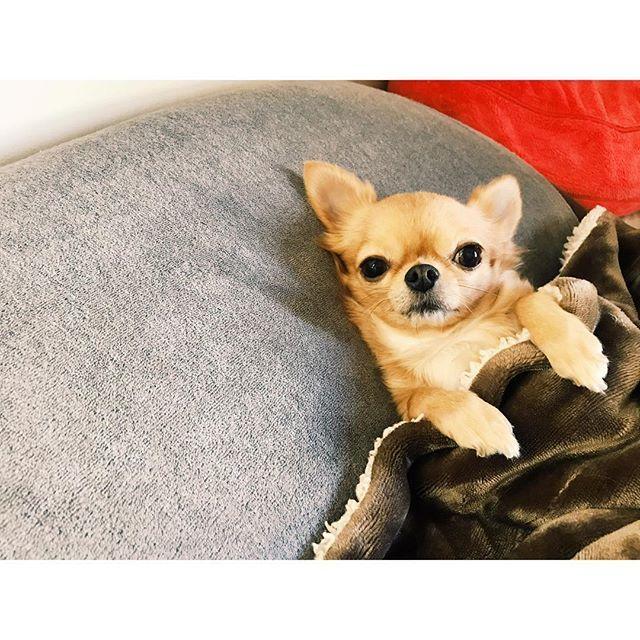 𓅫𓅫𓅫⋆ gm☀️ 朝のひとこま🐓(昨日) お布団からいってらっしゃꔛい👋🏻 3日間、パピーのところだからマミーいないのにそんな見送り方って😂😂😂 ドライなモカさん😑 そんなところが大好きです❤️ ☀︎ ☀︎ #いってらっしゃい #布団の中からお見送り #塩対応 #ドライ #ちなみにベリーは見送りなし #かーちゃん切ない😢 #かーちゃんはとーちゃんの #誕生日サプライズ💡 #✈️ #チワワ #チワワ族 #チワワ部 #chihuahua #dog #instadog #愛犬 #犬 #わんこ #おはぎーず #ベリモカ #love #myfamily