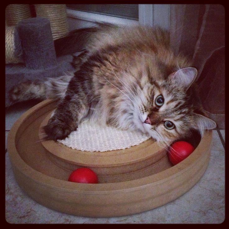 Chanel #siberiancat #cat #chanel