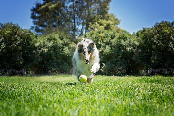 Blue Merle Rough Haired Collie - Yarra Valley Dog Photographer - Melbourne, Australia - Dog playing with ball - Action Pet Photography