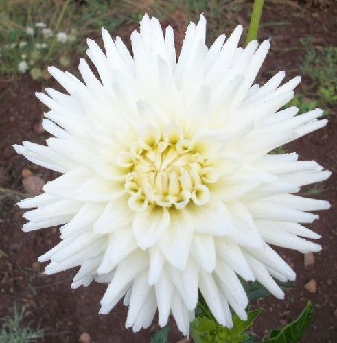 Hollyhill Chrystal This Dahlia Is A Beautiful White Semi Cactus With Nice Size Bloom Twoflower Namessummer