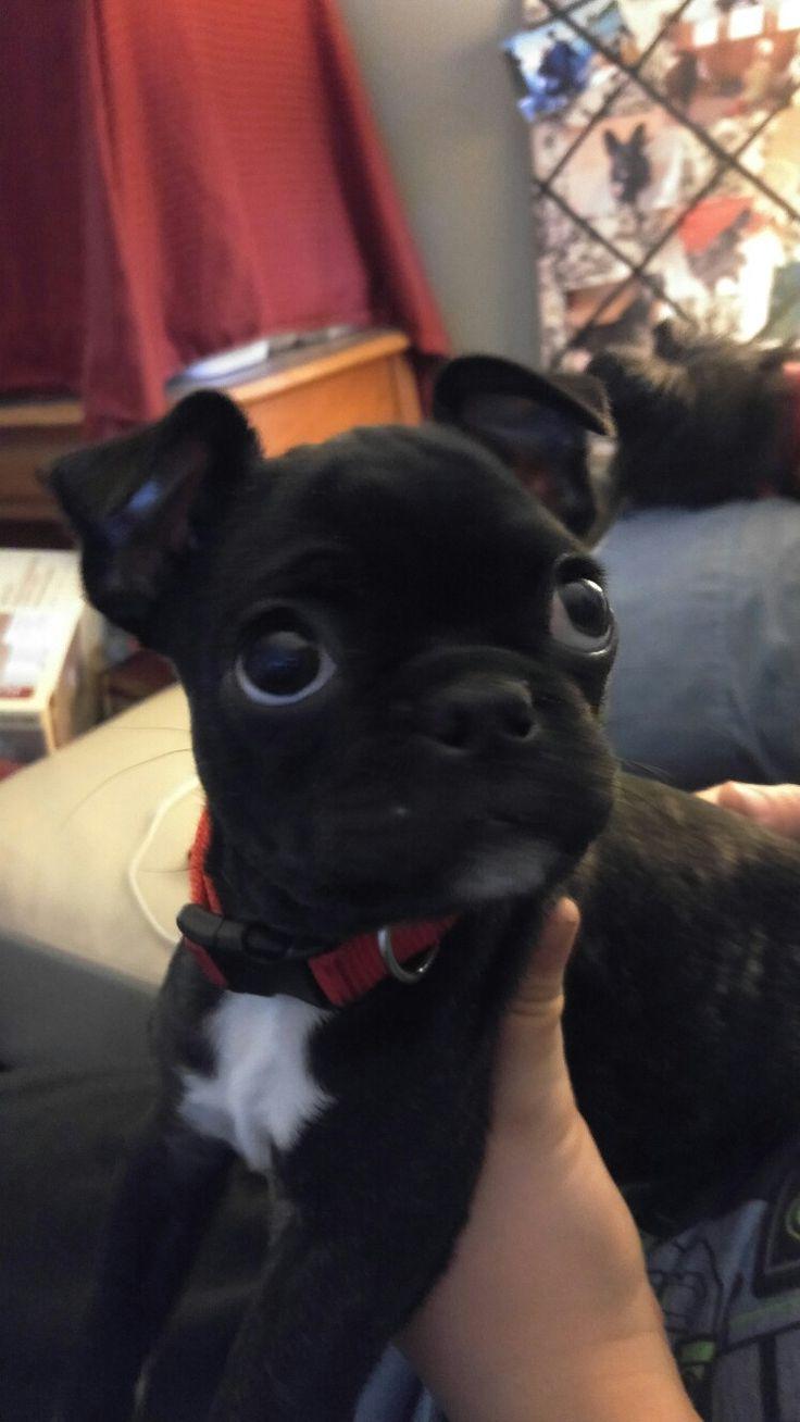 10 Best Ide Tentang Bugg Puppies Di Pinterest Anak Anjing Pug
