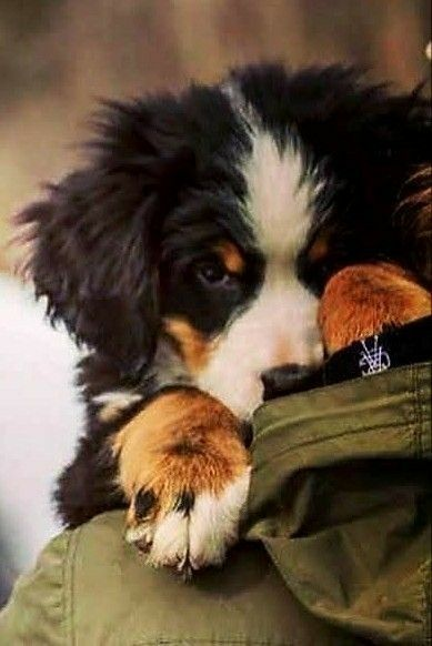 Bernese Mountain Dog puppy shyly peeks over his human's shoulder