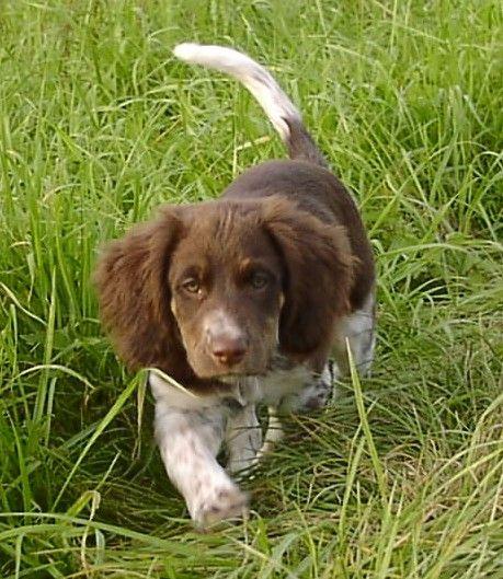 Small Münsterländer puppy