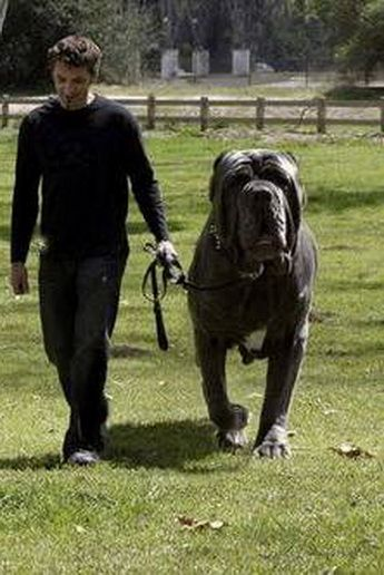 Hercules is an English Mastiff and who has a 38 inch neck and weighs 282 pounds. What a wonderful dog!