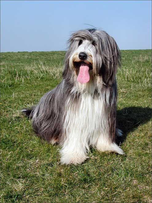 Races de chiens: Bearded collie - Frawsy www.frawsy.com                                                                                                                                                                                 Plus