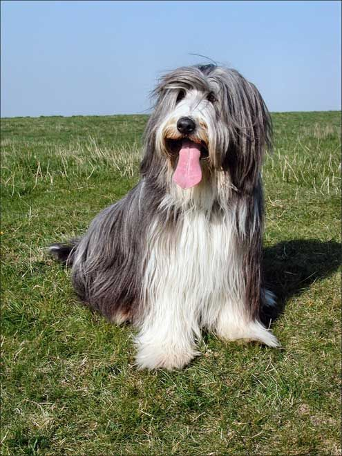 Bearded collie photo | Bearded collie . Comportement. Education. Photos. Dinosoria