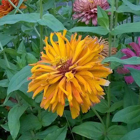 #майорець #цинния #cinnia #flowers 💐 #summer #nature #beauty #paradise #maTusy #Dnepr #Ukraine