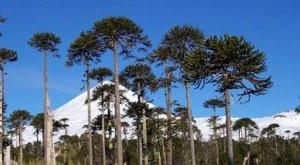 Es porque generó un desplazamiento de los vientos que alteró los patrones de precipitación. Los árboles de la región registraron su tasa de crecimiento más baja de los últimos 600 años. + info: http://www.ecoapuntes.com.ar/2012/11/patagonia-el-agujero-de-ozono-redujo-las-lluvias-y-ya-afecta-a-los-bosques/