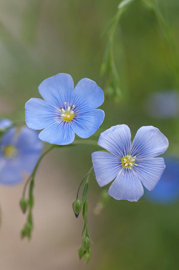 Blue Blooms Of Flax 2 Photograph By Jenny Rainbow Flax Flowers Beautiful Flowers Flowers Photography
