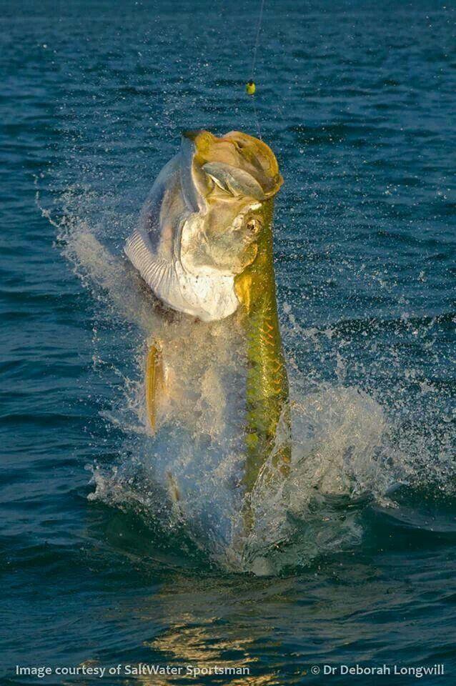 Tarpon on the line. Florida Keys fishing