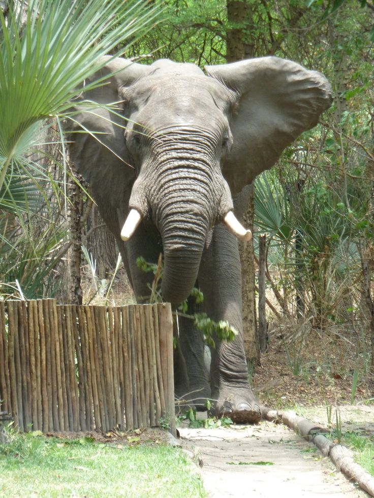 When we arrived in Camp Okavango we were greeted by an elephant that broke through the fence and into in our camp.  Botswana101.com #OkanvangoDelta #CampOkavango