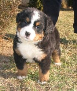 This is the kind of dog I want next!! Burmese mountain dog!