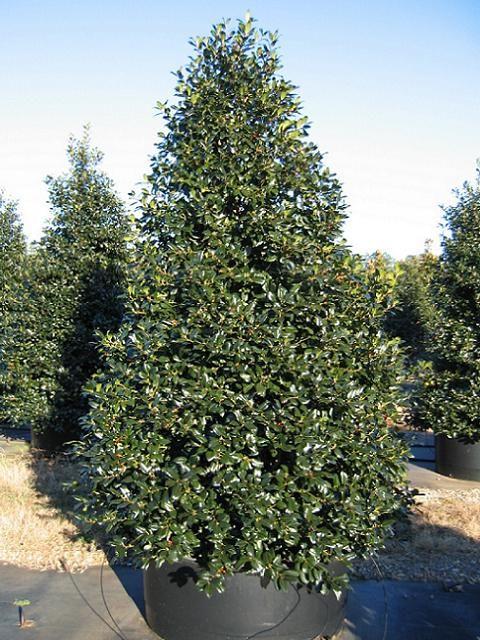 Christmas Holly Tree Part - 37: Best 25+ Holly Tree Ideas On Pinterest | Holly Power, Celtic Calendar And  Celtic Astrology