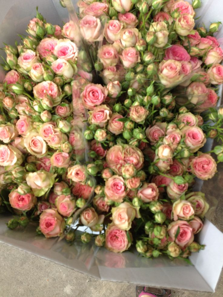 spray rose called 39 pepita 39 sold in bunches of 10 stems from the flowermonger the wholesale. Black Bedroom Furniture Sets. Home Design Ideas