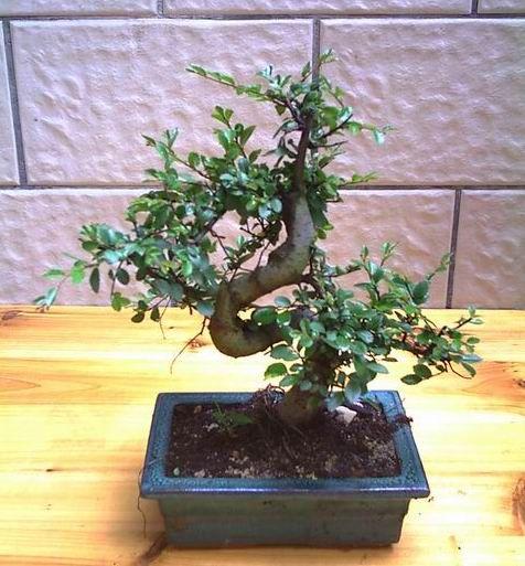 Zelkova china - Bonsai